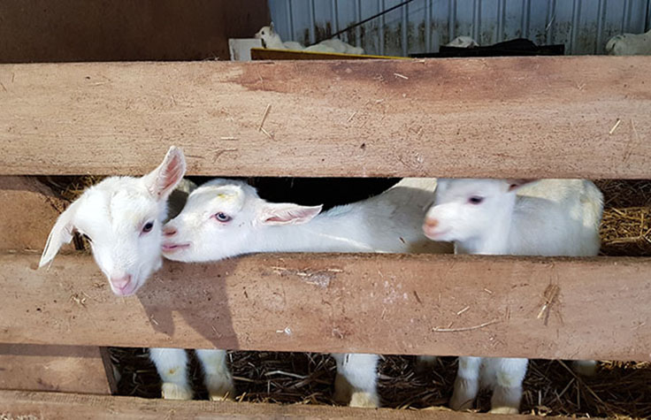 Selective Breeding of Goat Herd