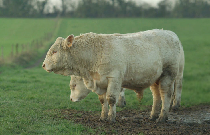 Improved Breeding Plans for Beef Cattle