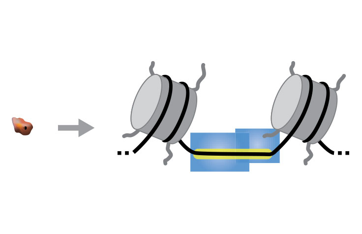 ATAC Sequencing   Chromatin accessibility analysis